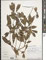 View Euphorbia tetraptera Baker digital asset number 1