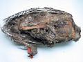 View Meleagris gallopavo tularosa Schorger digital asset number 3