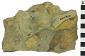 View Fossil Tea Plant digital asset number 2