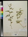 View Vicia americana Muhl. ex Willd. var. americana digital asset number 0