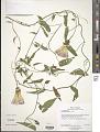 View Calystegia sepium (L.) Aiton digital asset number 2