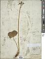 View Fauria crista-galli (Menzies ex Hook.) Makino digital asset number 1