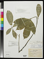 View Cola heterophylla (P. Beauv.) Schott & Endl. digital asset number 0