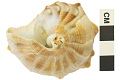 View Lightning Whelk, Lightening Whelk, Fossil shell digital asset number 4