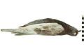 View Rock Pigeon, Common Pigeon, Rock Dove digital asset number 0