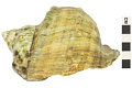 View Great Green Turban, Great green turban shell digital asset number 2
