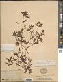 View Euphorbia polygonifolia L. digital asset number 1