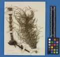 View Botanical Specimens From Quileute Indians digital asset number 20