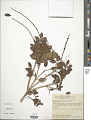 View Pilocarpus microphyllus Stapf ex Wardlew. digital asset number 1