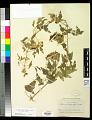 View Clematis ligusticifolia Nutt. digital asset number 0