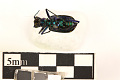 View Six-spotted Tiger Beetle digital asset number 1