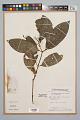 View Palicourea racemosa (Aubl.) Borhidi digital asset number 0