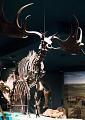 View Megaloceros giganteus (Blumenbach) digital asset number 1