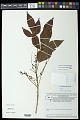 View Allophylus semidentatus (Miq.) Radlk. digital asset number 0