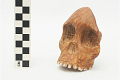 View Taung Child, Fossil Hominid digital asset number 4