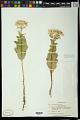 View Euphorbia marginata Pursh digital asset number 0