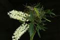 View Dendrobium speciosum Sm. digital asset number 0