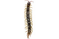 View Giant Redheaded Centipede digital asset number 2