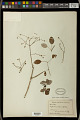 View Euphorbia cotinifolia L. digital asset number 0