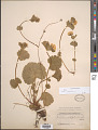 View Geum calthifolium Menzies ex Sm. digital asset number 1