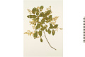 View Common Chinese Privet digital asset number 2