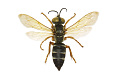 View Square-headed Wasp digital asset number 0