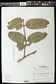 View Salacia elliptica (Mart. ex Schult.) G. Don digital asset number 0