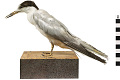 View Common Tern digital asset number 10