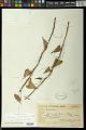 View Dioscorea ceratandra Uline digital asset number 0