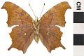 View Eastern Comma digital asset number 1