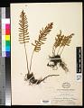 View Pleopeltis guttata (Maxon) E.G. Andrews & Windham digital asset number 0