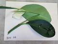 View Spathiphyllum cannifolium (Dryand. ex Sims) Schott digital asset number 0