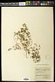 View Euphorbia serpillifolia Pers. digital asset number 0