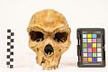 View Kabwe 1, Fossil Hominid digital asset number 5