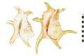 View Chiragra Spider Conch, Chiragra Spider Conch digital asset number 1
