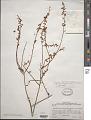 View Osyridicarpos schimperianus (Hochst. ex A. Rich.) A. DC. digital asset number 1