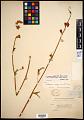 View Sidalcea oregana var. minor (M.E. Peck) C.L. Hitchc. digital asset number 0