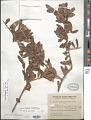 View Schinus longifolia (Lindl.) Speg. digital asset number 1