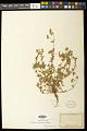 View Euphorbia capitellata Engelm. in Emory digital asset number 0