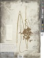 View Cyperus pseudovegetus Steud. digital asset number 1