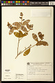 View Diclidanthera elliptica Miers digital asset number 0