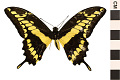 View King Swallowtail digital asset number 0