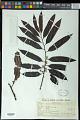 View Bicuiba oleifera (Schott) J.J.de Wilde digital asset number 0