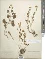 View Senecio occidentalis (A. Gray) Greene digital asset number 1