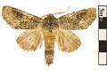View Variable Oakleaf Caterpillar Moth, Maple Prominent digital asset number 0