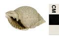 View Nutmeg Shell digital asset number 3