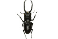 View Stag Beetle, Malaysian stag beetle digital asset number 2