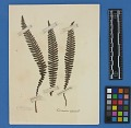 View Botanical Specimens From Quileute Indians digital asset number 32