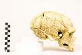 View La Chapelle-aux-Saints, Neanderthal Man, Fossil Hominid digital asset number 9