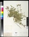 View Aubrieta deltoidea (L.) DC. digital asset number 0